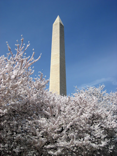 Cherry Blossoms in front on the Washington Monument